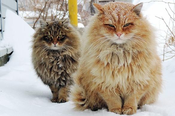 """""""Не были мы ни на какой Таите"""": о пушистых котах из Сибири написал весь мир. Видео. Не были мы ни на какой Таите: о пушистых котах из Сибири напис"""