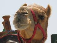 Пропавшего в Египте россиянина ищут верблюды