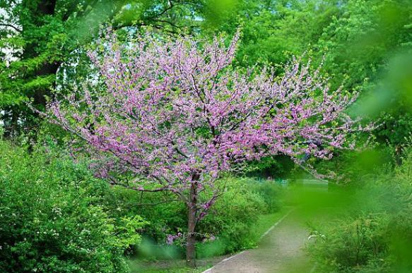 Багрянник для украшения сада. 397006.jpeg