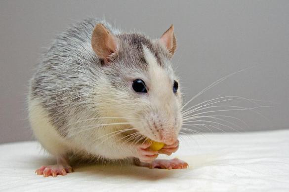 Оголодавшие из-за европейских санкций москвичи едят крыс— Голландские корреспонденты