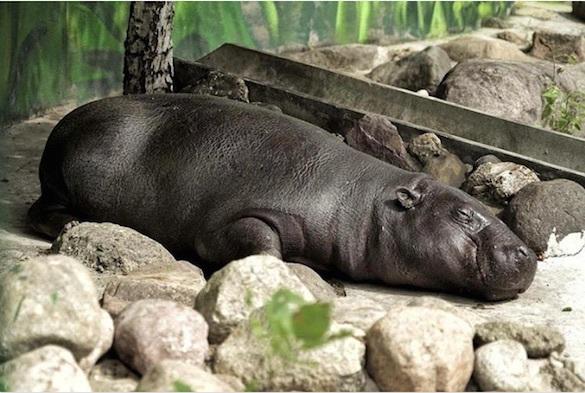 В Московском зоопарке родился безымянный бегемот-карлик. 374014.jpeg