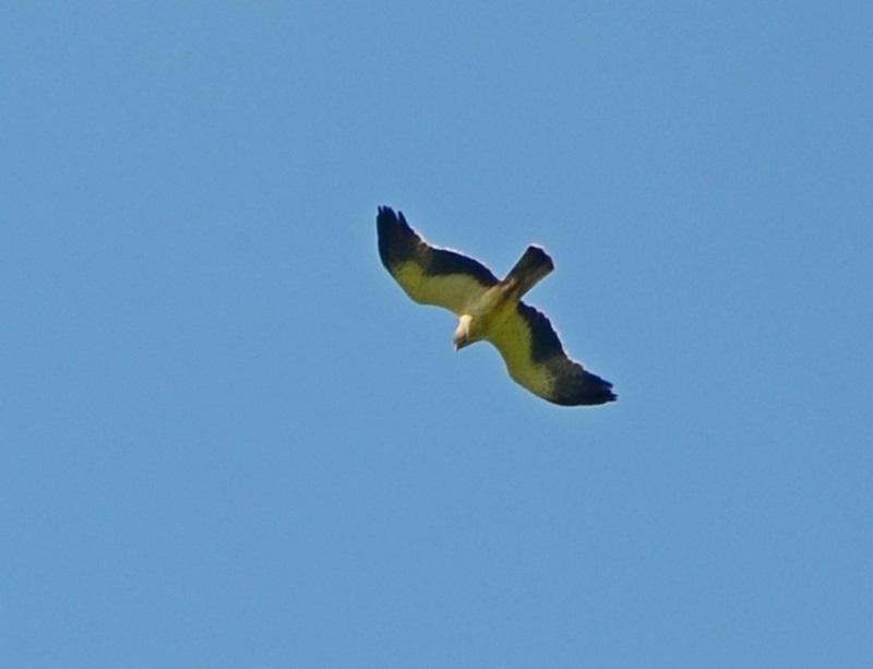 В подмосковные леса вернулся редкий орел-карлик