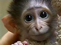 Созданы трансгенные приматы