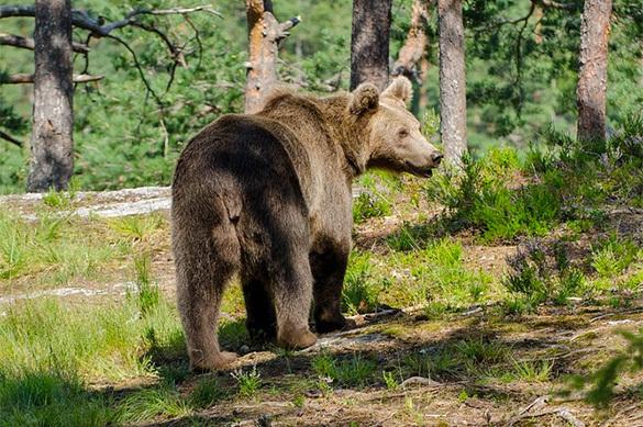 В Хабаровском крае оголодавшие медведи объедают огороды местных жителей. В Хабаровском крае оголодавшие медведи объедают огороды местных