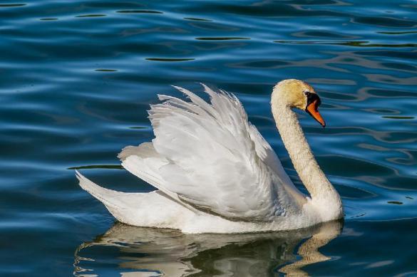 В Казани спасли заблудившегося лебедя. Лебедь