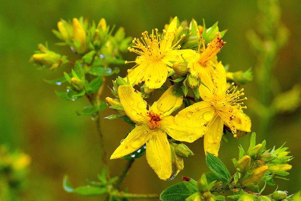 Аптекарский огород: лекарственные растения, которые можно вырастить на даче. Лекарственные травы - Зверобой