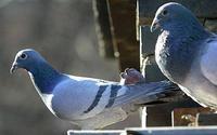 Мобильники в тюрьмы бразильским зекам доставляют голуби
