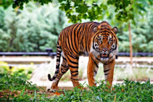 В зоопарке Нью-Йорка у тигрицы обнаружили коронавирус. Тигр
