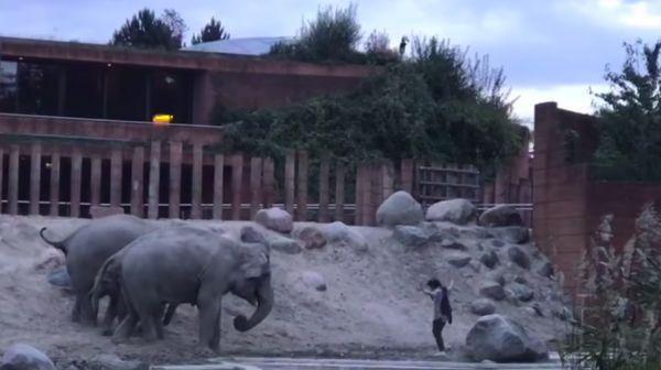 В Копенгагене мужчина оказался в одном вольере со слонами. 394031.jpeg
