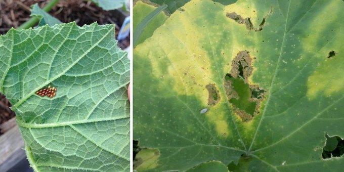 Как правильно выращивать патиссоны?. Вредители и болезни патиссонов