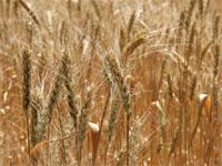 Россия из-за засухи недосчитается 11 млн тонн зерна