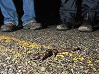 Ради саламандр в американском городе перекрыли движение. 282044.jpeg