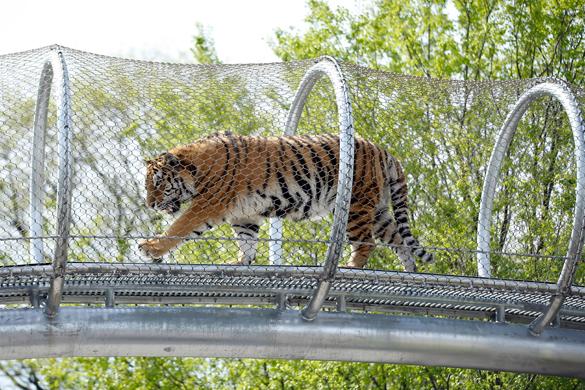 Львы и тигры в зоопарке Филадельфии стали ближе к народу. Львы и тигры в зоопарке Филадельфии стали ближе к народу