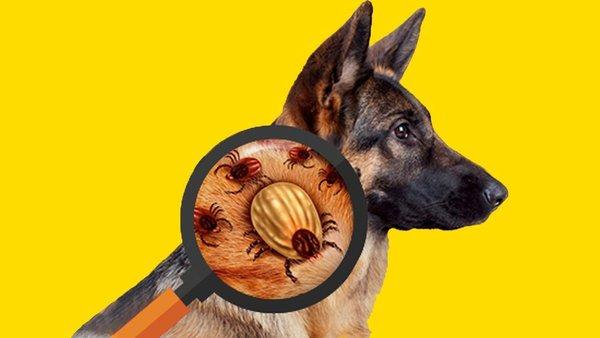 Как защитить собаку от клещей. Защита собаки от клещей