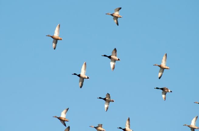 """Магнитный """"биокомпас"""" помогает птицам не ошибаться при перелетах. Магнитный биокомпас помогает птицам не ошибаться при перелетах"""
