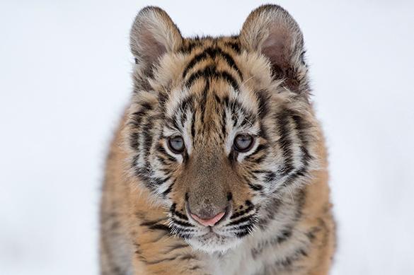 В Приморье найден третий истощенный тигренок