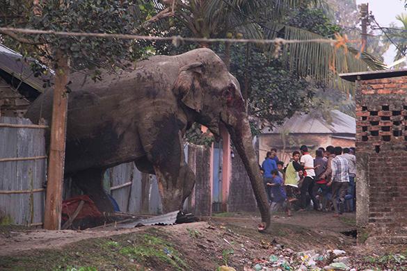 Дикие слоны топчут китайских крестьян