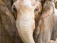Сбежавшая слониха терроризировала Таиланд целый месяц