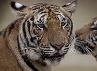 Из чешского зоопарка сбежал редкий белый тигр. 275059.jpeg