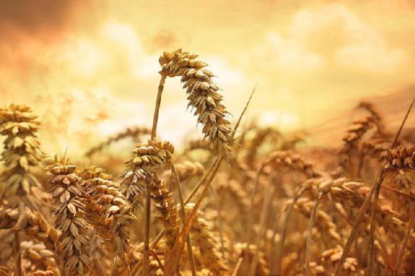 """США проиграли России """"пшеничную войну"""". 379060.jpeg"""