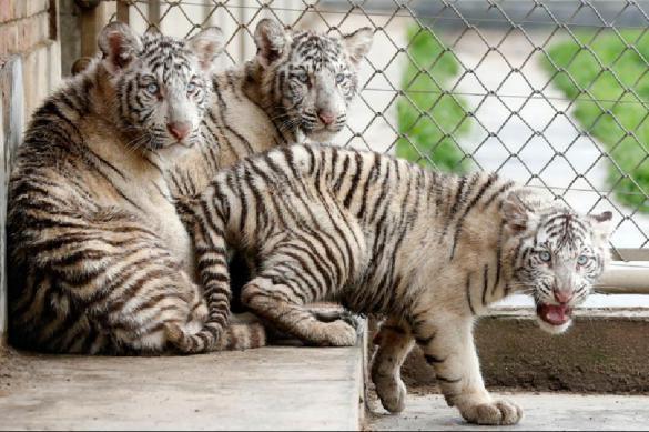 Посетительница сафари-парка требует 14 млн долларов за убитую тигром мать. Видео. Посетительница сафари-парка требует 14 млн долларов за убитую ти