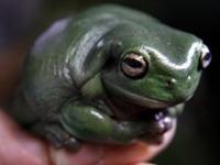Ученые нашли лягушку с клыками. 241067.jpeg