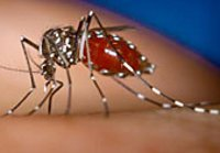 Комары-суперменыбольнылихорадкой