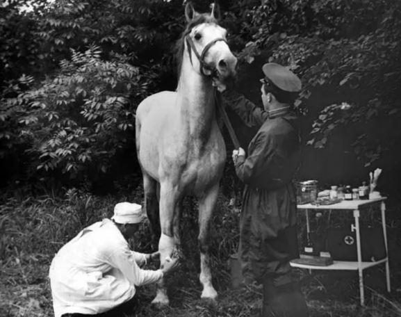Лошади – участники Великой Отечественной войны. Ветеринарная служба