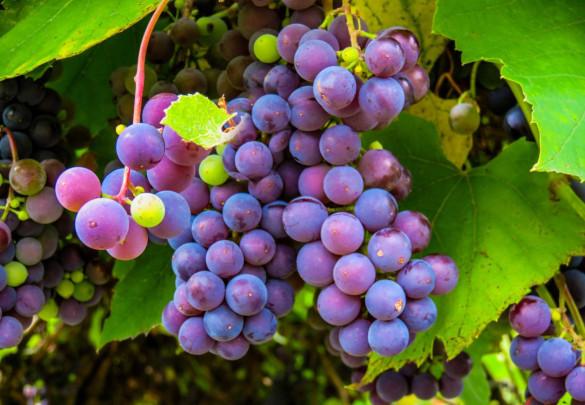 Как защитить виноградник от вымерзания. 400068.jpeg