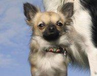 Крохотная собачка сорвала ограбление магазина в США (+видео). chihuahua