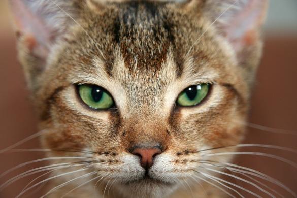 Тест на скорость: кто из кошек всех быстрее. абиссинская