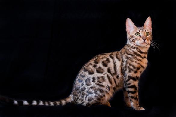 Тест на скорость: кто из кошек всех быстрее. бенгальская
