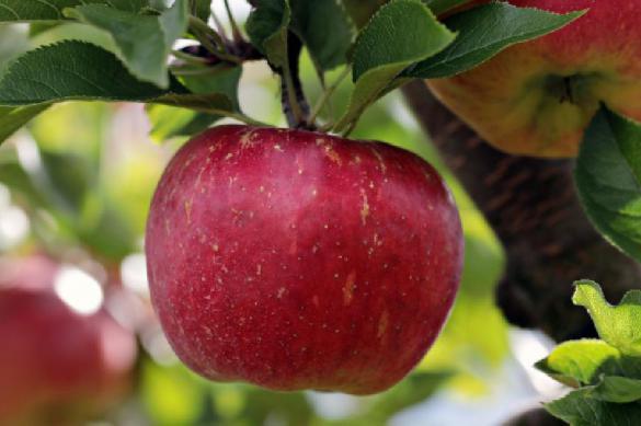 Яблочная кожура защитит от рассеянного склероза. Яблоки