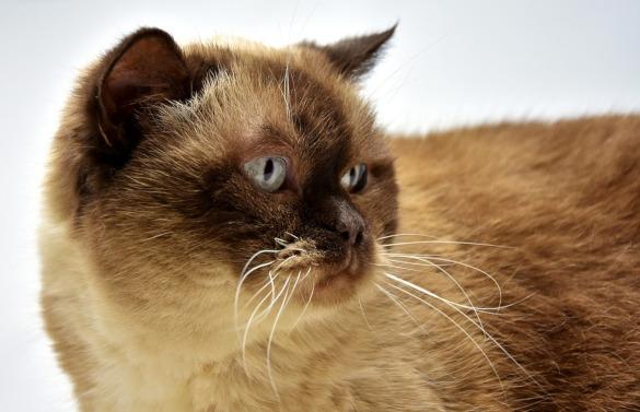 Тест на скорость: кто из кошек всех быстрее. британская