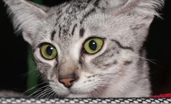 Тест на скорость: кто из кошек всех быстрее. египетский мау