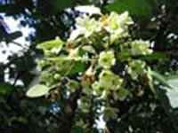 В Бельгии расцветает уникальное дерево