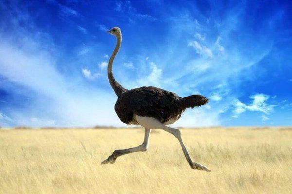 Страус по полю гуляет. страус