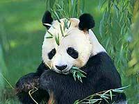 Полное вымирание панды значительно приблизилось