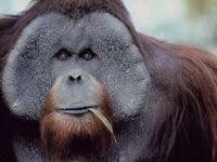 Умер самый старый орангутан США