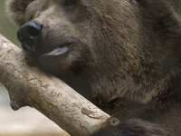 медведи. 267080.jpeg