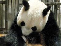 Японцы скорбят: умер детеныш гигантской панды. 266083.jpeg