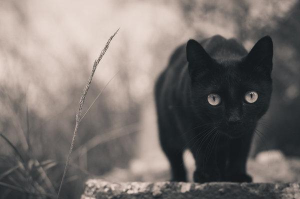 Итальянцы защищают черных кошек. кошка черного окраса