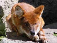 Корова умерла от укуса дикой лисы