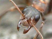 Ученые нашли древнего муравья размером с птицу. 237087.jpeg