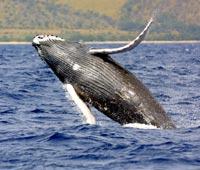 В Австралии на берег выбросились киты