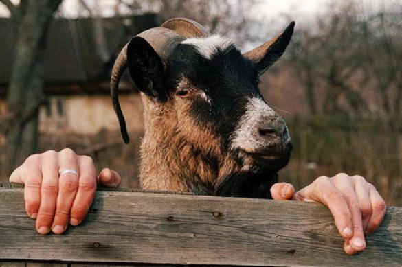 Это Россия, детка: светловец украл козла для бабушки любимой. 382092.jpeg