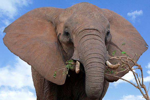Опубликовано видео, как голодный слон забрел в школьную столовую. Опубликовано видео, как голодный слон забрел в школьную столовую