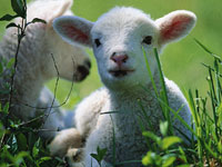 Битцевский лес обживают овцы и козы