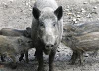 Со свиным гриппом – в  мировой кризис