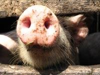 Африканская чума снова изводит ставропольских свиней